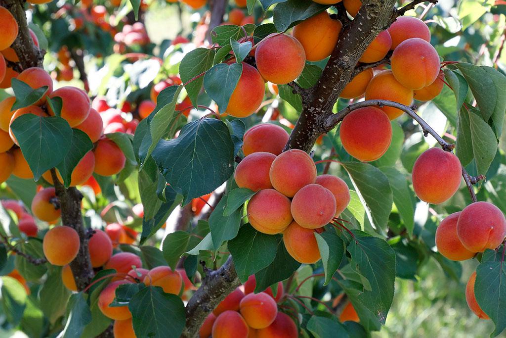 Culipedia Abricots